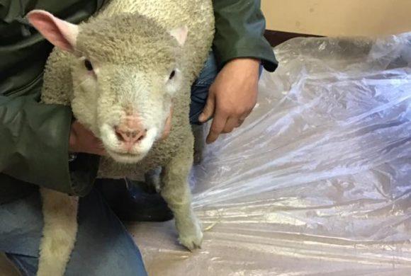 Lamb Alert!